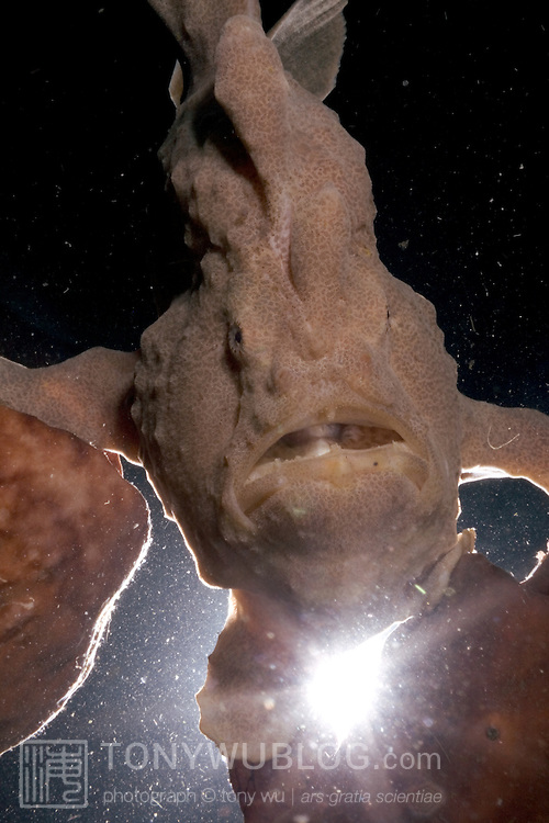 Giant frogfish (Antennarius commerson) perched on large sponges, unusual body shape accentuated with backlighting. Lembeh Strait, North Sulawesi, Indonesia.