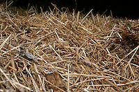 Straw on stable floor in farm in Ireland