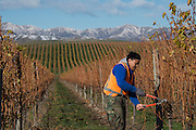 Pruning, Villa Maria, Marlborough, New Zealand