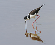 A black-necked stilt (Himantopus mexicanus) searching for invertebrates in the mud of  a shallow lagoon. Puerto Villamil, Isabela, Galapagos, Ecuador