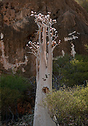 A Bottle Tree, a type of Baobab, on Socotra. Due to its geographic isolation Socotra has some of the most unique Flora and Fauna in the world. Socotra, Yemen