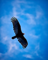 Turkey vulture soaring in the late afternoon sun. Winter nature in New Jersey. Image taken with a Nikon Df camera and 70-200 mm f/2.8 lens (ISO 400, 200 mm, f/2.8, 1/500 sec).