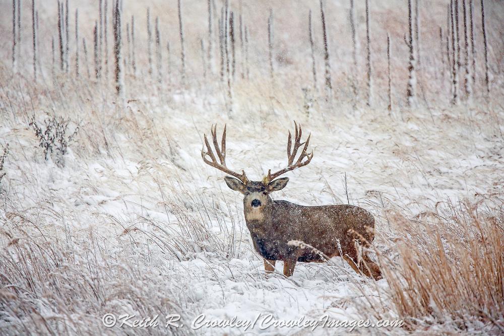 Huge Mule Deer Buck in Winter Habitat