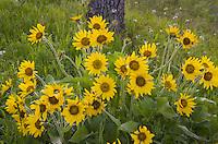 Balsamroot (Balsamorhiza deltoidea), Rowena Crest, Columbia River Gorge National Scenic Area, Oregon