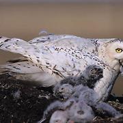 Snowy Owl (Nyctea scandiaca) adult feeds a  bird to chicks in Barrow,  Alaska.