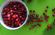 """Cranberries ( Vaccinium oxycoccos. The popularity is growing because of nutrient content and antioxidant qualities, recognized as a """"superfruit"""". These are wild ones from Norway.<br />  <br />  <br />  <br />  <br />  <br />  <br /> Vaccinium oxycoccos"""