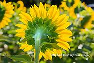 63801-11209 Sunflower in field Jasper Co.  IL