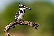 Pied kingfisher (Ceryle rudis) from Zimanga, South Africa.