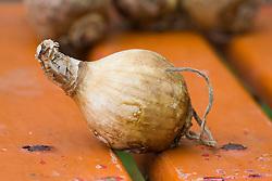 Bulb of Hymenocallis x festalis AGM syn. Ismene x festalis - Spider lily