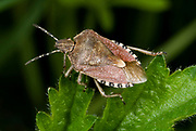 Close up of a sloe bug (Dolycoris baccarum) resting on a leaf in a Norfolk wood