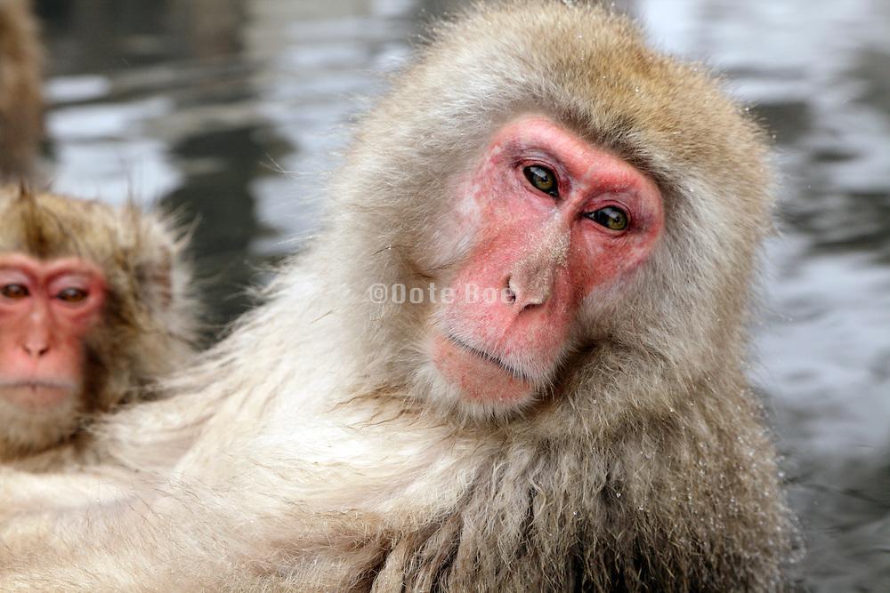 Snow Monkeys in Jigokudani Monkey Park Nagano Prefecture Japan