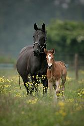 Paarden op de weide<br /> Fokkerij Van Eeckhout Isabelle<br /> Stal d'Ive - Outer-Ninove 2007<br /> Photo © Dirk Caremans