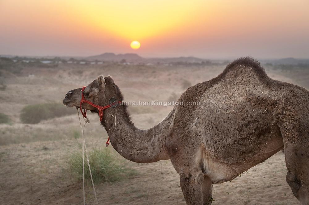 A camel in the desert at sunset, Pushkar camel fair, Pushkar, India.
