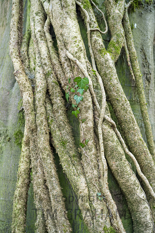 Ivy - Hedera Helix - growing up a beech tree for support, UK
