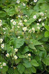 Flowers of alpine strawberry. Fragaria vesca 'Mignonette'