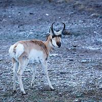 Animals - Pronghorn