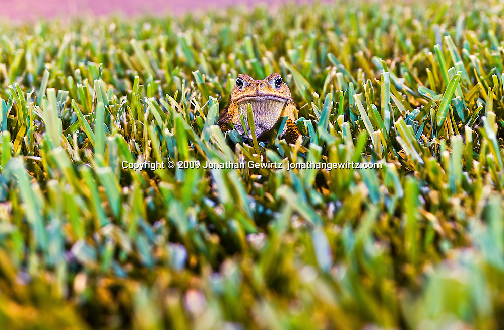 A common toad sitting motionless in short grass. WATERMARKS WILL NOT APPEAR ON PRINTS OR LICENSED IMAGES.