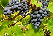 Nederland, Groesbeek, 4-10-2016 Bij de biologische wijngaard de Colonjes is men bezig met de druivenoogst van dit seizoen. Beschimmelde en aangetaste vruchten worden zoveel mogelijk weggeknipt. Kwaliteit gaat hier boven kwantiteit. Groesbeek afficheert zichzelf als het wijndorp van Nederland omdat er de jaarlijkse wijnfeesten zijn en verschillende boeren druiven verbouwen. De oogst dit jaar is  goed, met een hoog suikergehalte, en ook de gevreesde suzuki vlieg lijkt niet toegeslagen te hebben . Dit in tegenstelling tot tweejaar geleden toen de oogst door toedoen van dit insekt nagenoeg mislukte en de angst voor dit beestje onder de zacht fruittelers steeds groter wordt .. Foto: Flip Franssen