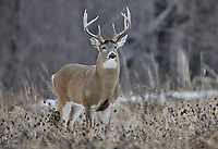 White-tailed deer (Odocoileus virginianus) stag  with full growth antlers, Calgary, Alberta, Canada
