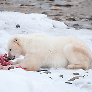A large male polar bear with the remains of a cub of the year he caught and killed from a female polar bear near Cape Churchill.