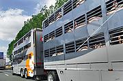 Nederland, A12, 14-8-2018 Vrachtwagen met open aanhanger gevuld met varkens rijdt over de snelweg naar zijn eindbestemming, het slachthuis, slachterij in binnenland of het buitenland .Foto: Flip Franssen