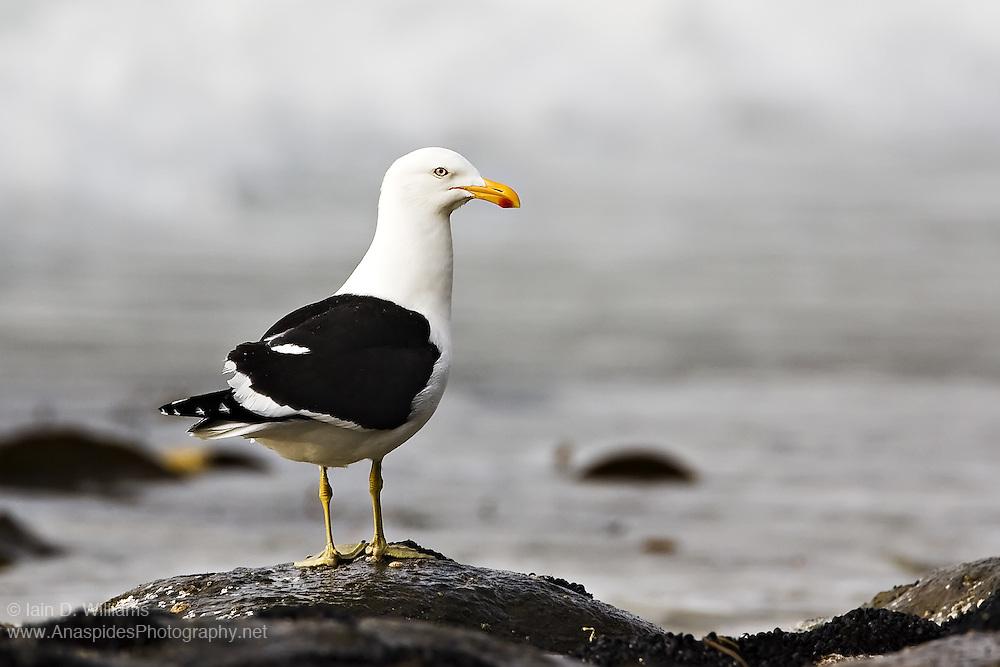 Kelp Gull (Larus dominicanus) - Tasmania