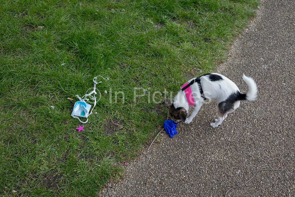 At the beginning of the second week of the UKs Coronavirus lockdown and in accordance with government guidelines for social distancing and local daily exercise, a local dog sniffs and chews a used discaded surgical glove that lies in the grass in Ruskin Park, a green public space in the borough of Lambeth, south London, on 30th March 2020, in London.