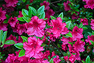 Rain drops on pink Azalea flowers blooming in the spring in a Fraser Valley garden