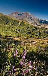 Broadleaf Lupine (Lupinus latifolius) and Mt. St. Helens, Mt. St. Helens National Volcanic Monument, Washington, US