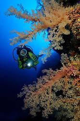 Klunzingeris soft corals, Dendronephthya klunzingeri, and scuba diver, South Egypt, Red Sea, MR, PR