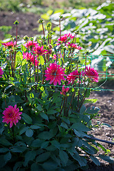 Dahlias supported by green plastic netting