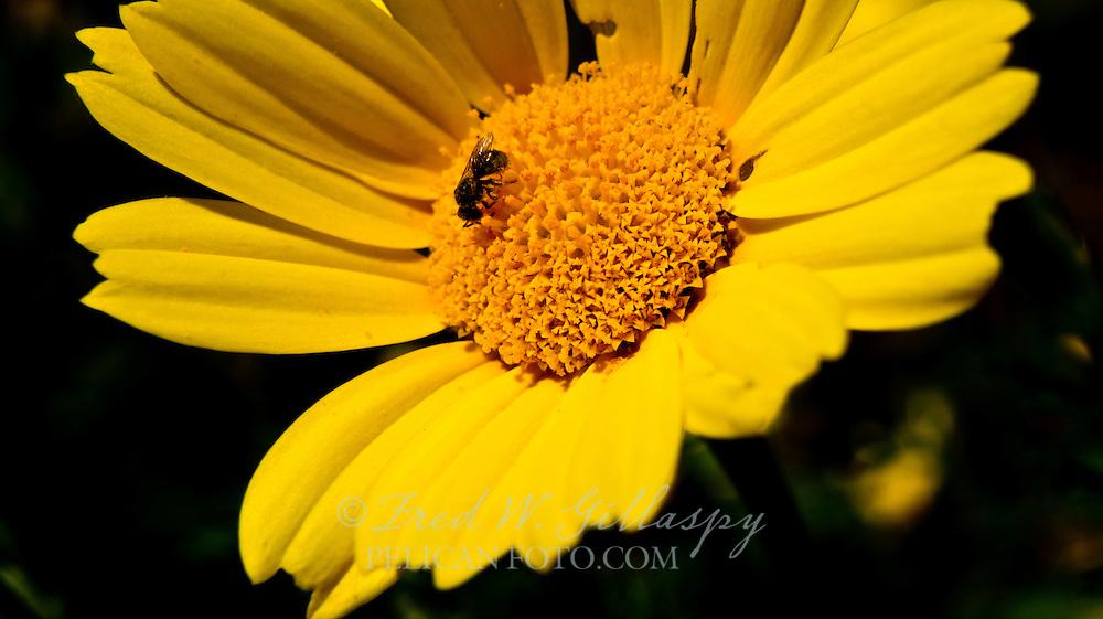 Daisy and Honey Bee