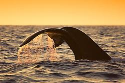 Humpback Whale, fluke-up dive at sunset, Megaptera novaeangliae, Hawaii, Pacific Ocean.