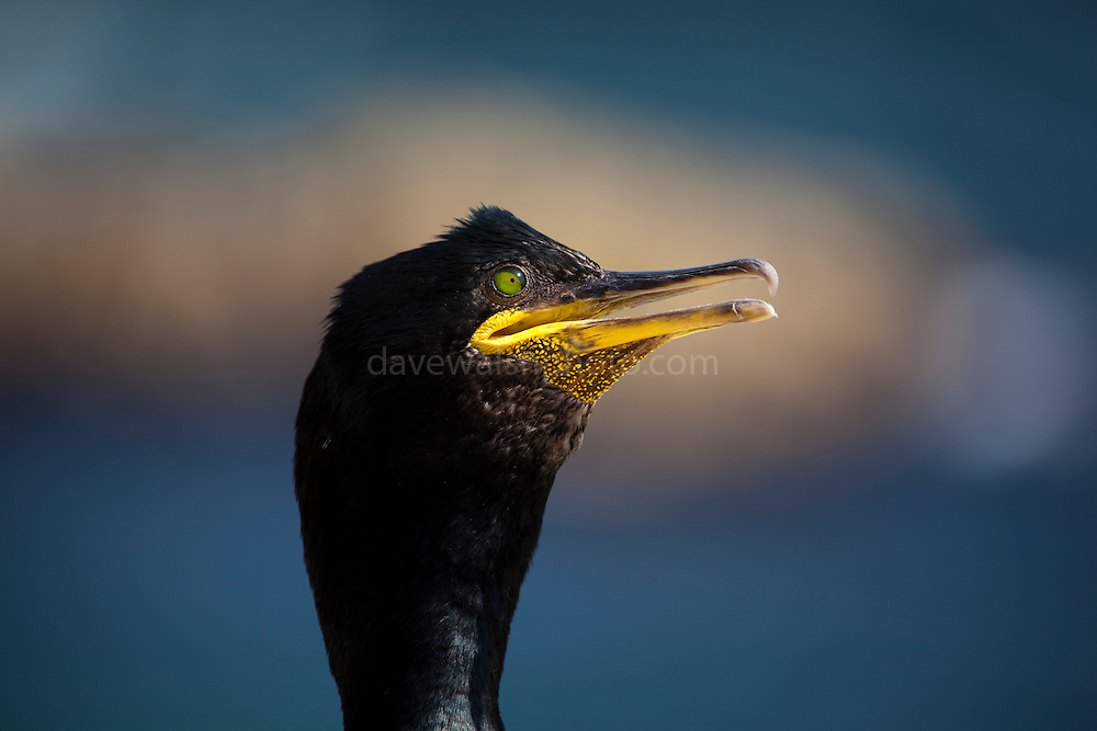 European shag, or common shag or cormorant, Saltee Islands, off the coast of Co. Wexford, Ireland. This belligerent looking shag was not happy about me climbing down the difficult path to the nearby gannet colony, and made a great show of hissing and expressing its apparent distaste for humans.