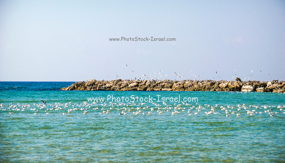 A flock of seagulls resting on the sea. Photographed in tel Aviv, Israel