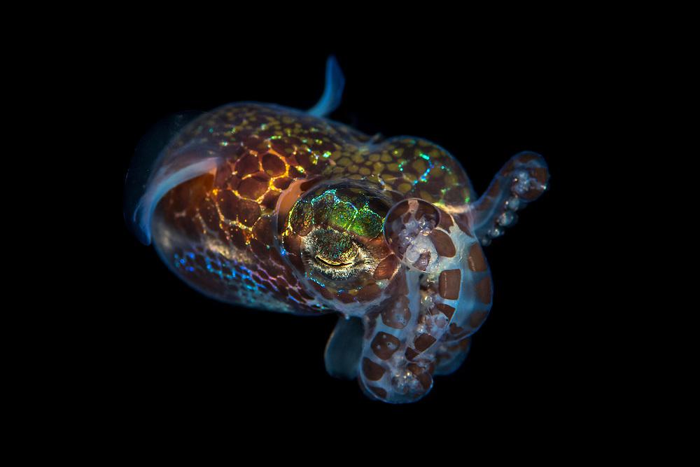 Hummingbird bobtail squid, Euprymna berryi, also called Berry's bobtail squid, Green Island, a small volcanic island in the Pacific Ocean , Taiwan