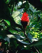Torch Ginger, Alpina Purpurata, Lyon Arboretum, Oahu, Hawaii, USA<br />