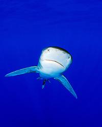 oceanic whitetip shark, Carcharhinus longimanus, off Kona Coast, Big Island, Hawaii, Pacific Ocean