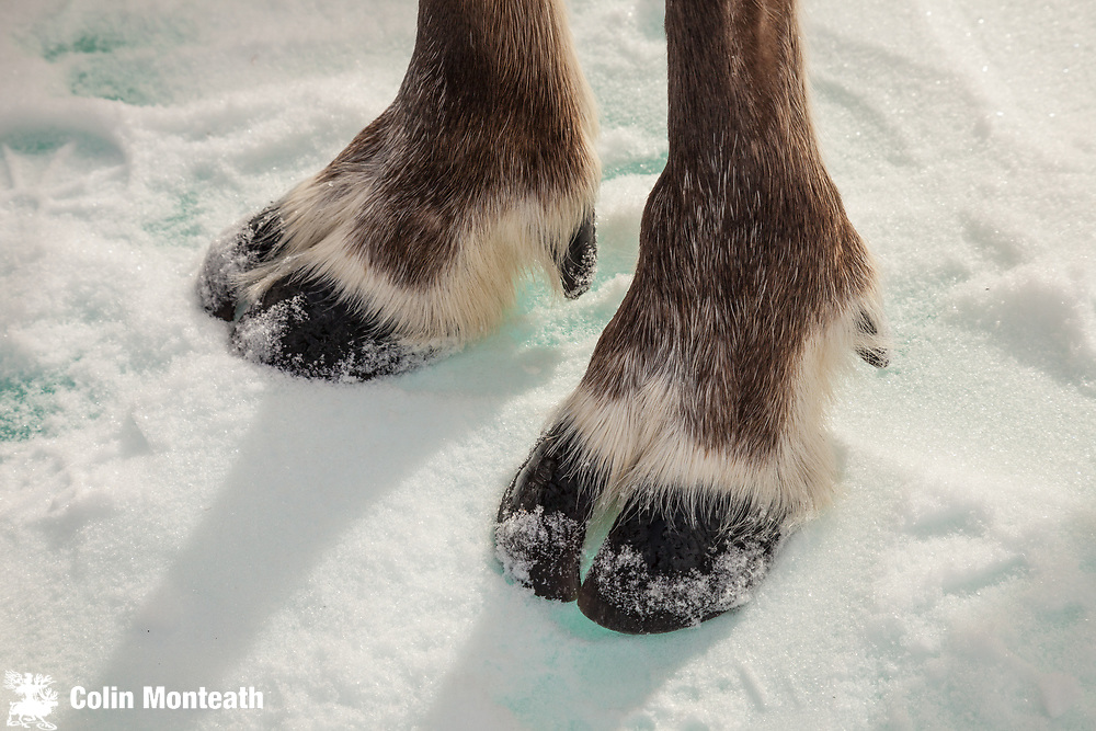 Reindeer hooves on icy lake surface, Hunkher mountains, northen Mongolia