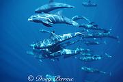 melon-headed whales, Peponocephala electra, Layang Layang Atoll, off Borneo, Malaysia ( South China Sea )
