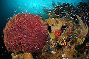 Colourful Soft corals (Alcyonacea) surrounded by reef fish. Raja Ampat, West Papua, Indonesia, Pacific Ocean  [size of single organism: 0,7 cm] | Raja Ampat, West Papua, Indonesien, Pazifischer Ozean