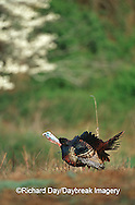 00845-029.06 Eastern Wild Turkey (Meleagris gallopavo) male (jake) gobbling in field near dogwood tree, Williamson Co. TN
