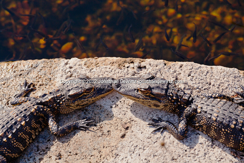 Two baby American alligators (Alligator mississippiensis) facing each other on a sunny rock in Everglades National Park, Florida. WATERMARKS WILL NOT APPEAR ON PRINTS OR LICENSED IMAGES.
