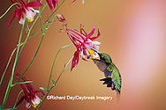 01162-07116 Ruby-throated Hummingbird (Archilochus colubris) male on Crimson Star Columbine (Aquilegia x hybrida) IL