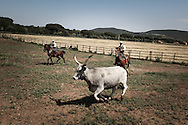 Butteri separating cows from bulls. The maremmana cow lives only in the region