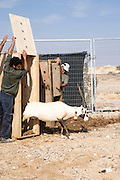Arabian oryx (Oryx leucoryx) Being reintroduced back to its natural habitat. Photographed in the Arava desert, Israel