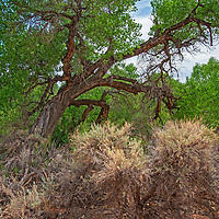 Sugebrush and Cottonwoods grow along a creekbank in Comb Wash, part of Bears Ears National Monument, Utah.