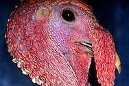 Deu, Deutschland: Truthahn, Puter (Meleagris gallopavo), Portraet, close-up, Zoo Krefeld, Nordrhein-Westfalen | DEU, Germany: Wild Turkey (Meleagris gallopavo), portrait, close-up, Zoo Krefeld, North Rhine-Westphalia