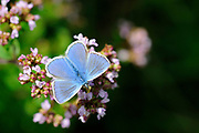 Common Blue Butterfly (Polyommatus icarus) male perched on marjoram flower, wings open, Oxfordshire, UK.