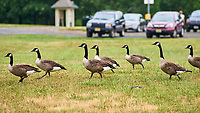 Canada Geese. Sourland Mountain Preserve. Image taken with a Nikon D3 camera and 180 mm f/2.8 lens.